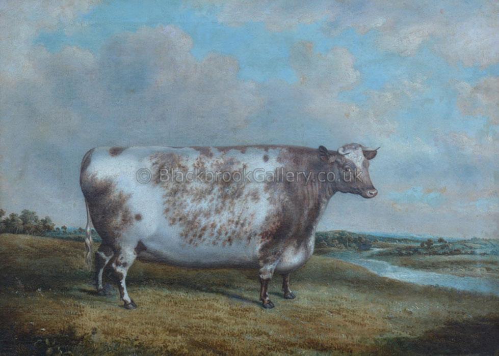 Fat Shorthorn Heifer by G. Jackson