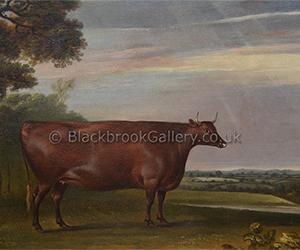 North Devon Heifer
