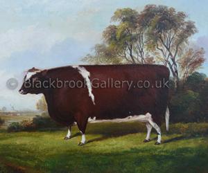 Shorthorn Heifer in a Landscape