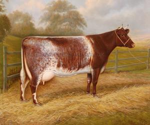 Champion Shorthorn Cow 'Carperby Wildeyes'