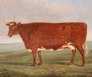 Norfolk Cow