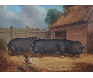 Prize Winning Berkshire Pigs